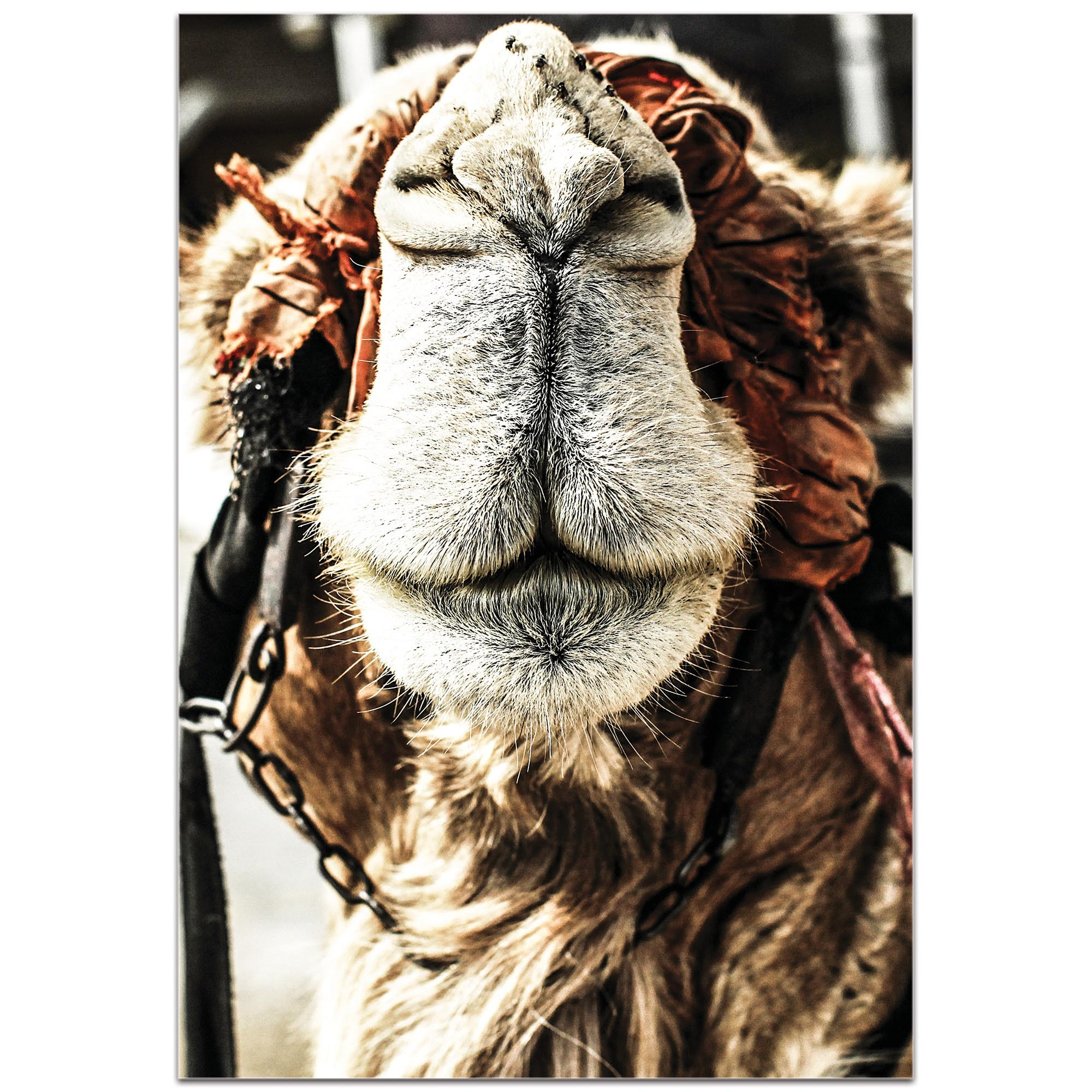 Casual Wall Art 'Camel Grin' - Wildlife Decor on Metal or Plexiglass - Image 2