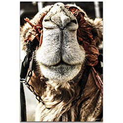 Casual Wall Art Camel Grin - Wildlife Decor on Metal or Plexiglass