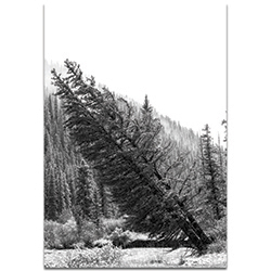 Black & White Photography Tilted Pines - Winter Trees Art on Metal or Plexiglass