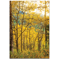 Landscape Photography Aspen Path - Autumn Nature Art on Metal or Plexiglass