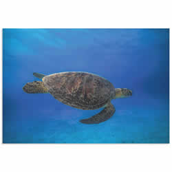 Green Turtle in the Blue by Barathieu Gabriel - Sea Turtle Art on Metal or Acrylic