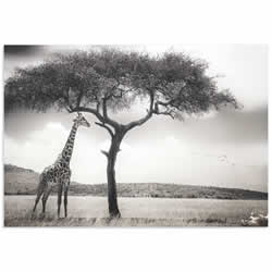 Under the African Sun by Piet Flour - Giraffe Wall Art on Metal or Acrylic