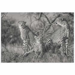 Three Cats by Jaco Marx - Cheetah Wall Art on Metal or Acrylic