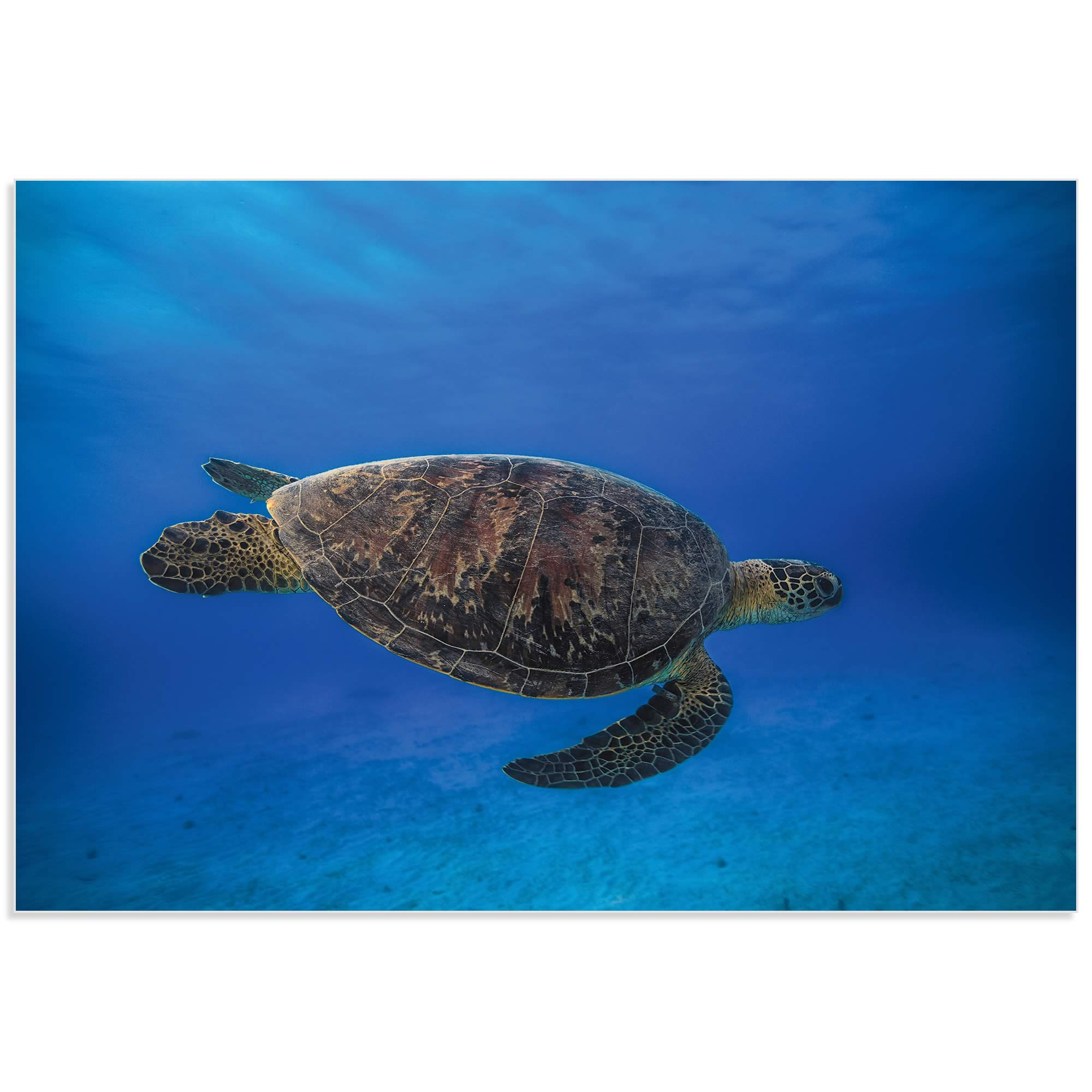 Green Turtle in the Blue by Barathieu Gabriel - Sea Turtle Art on Metal or Acrylic - Alternate View 2