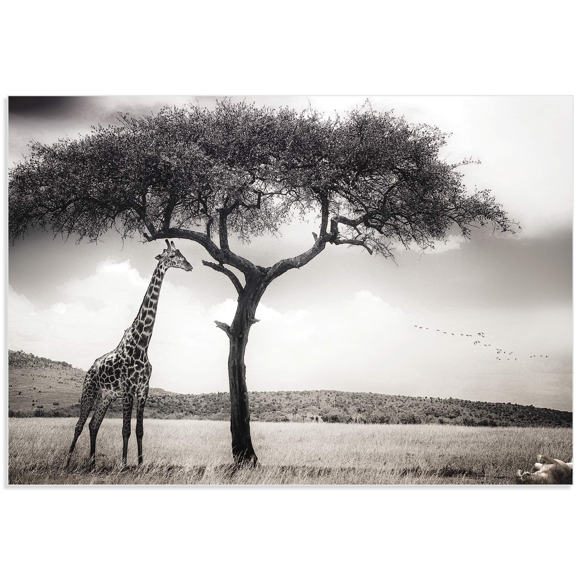 Under the African Sun by Piet Flour - Giraffe Wall Art on Metal or Acrylic - Alternate View 2