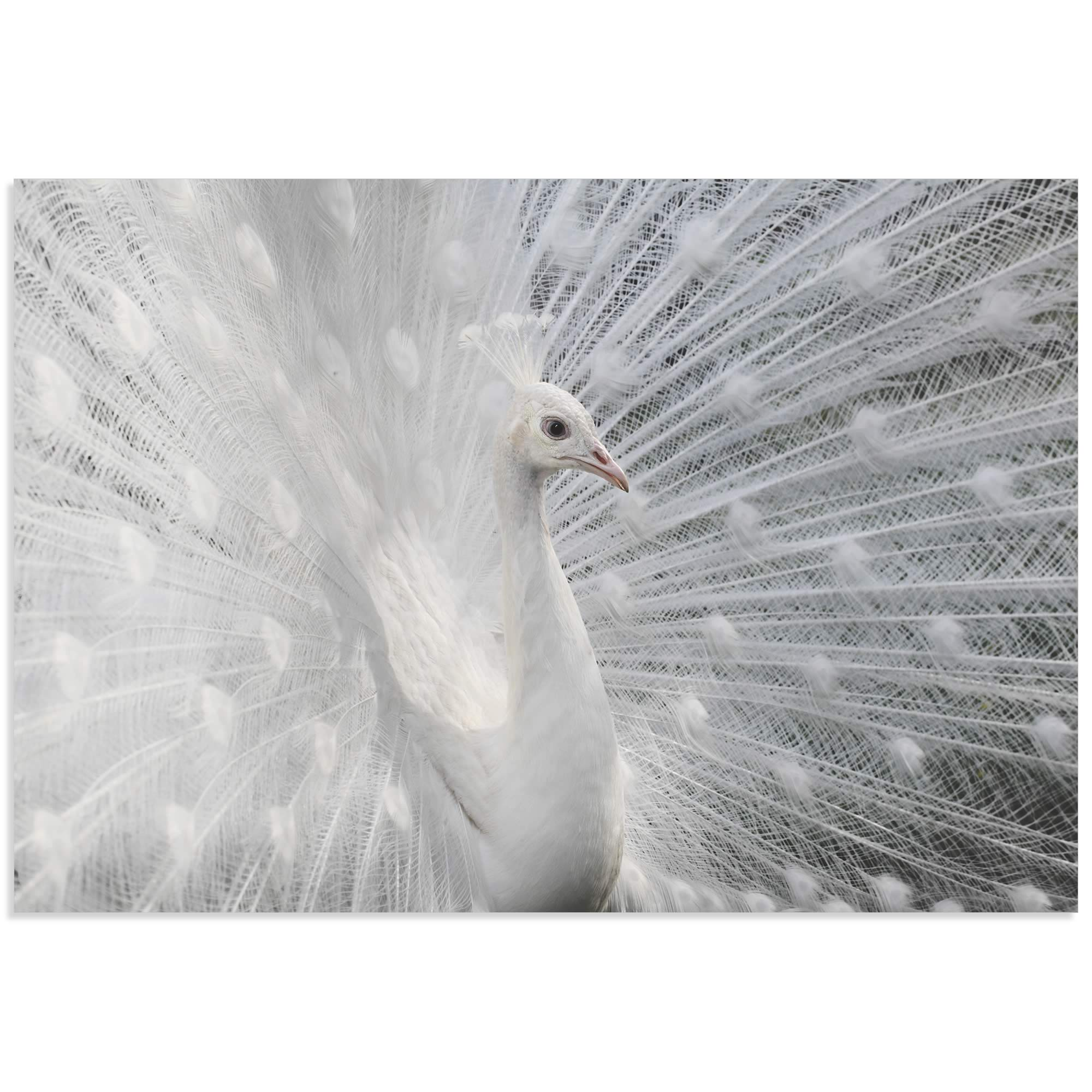Snow White Peacock by Victoria Ivanova - White Peacock Art on Metal or Acrylic
