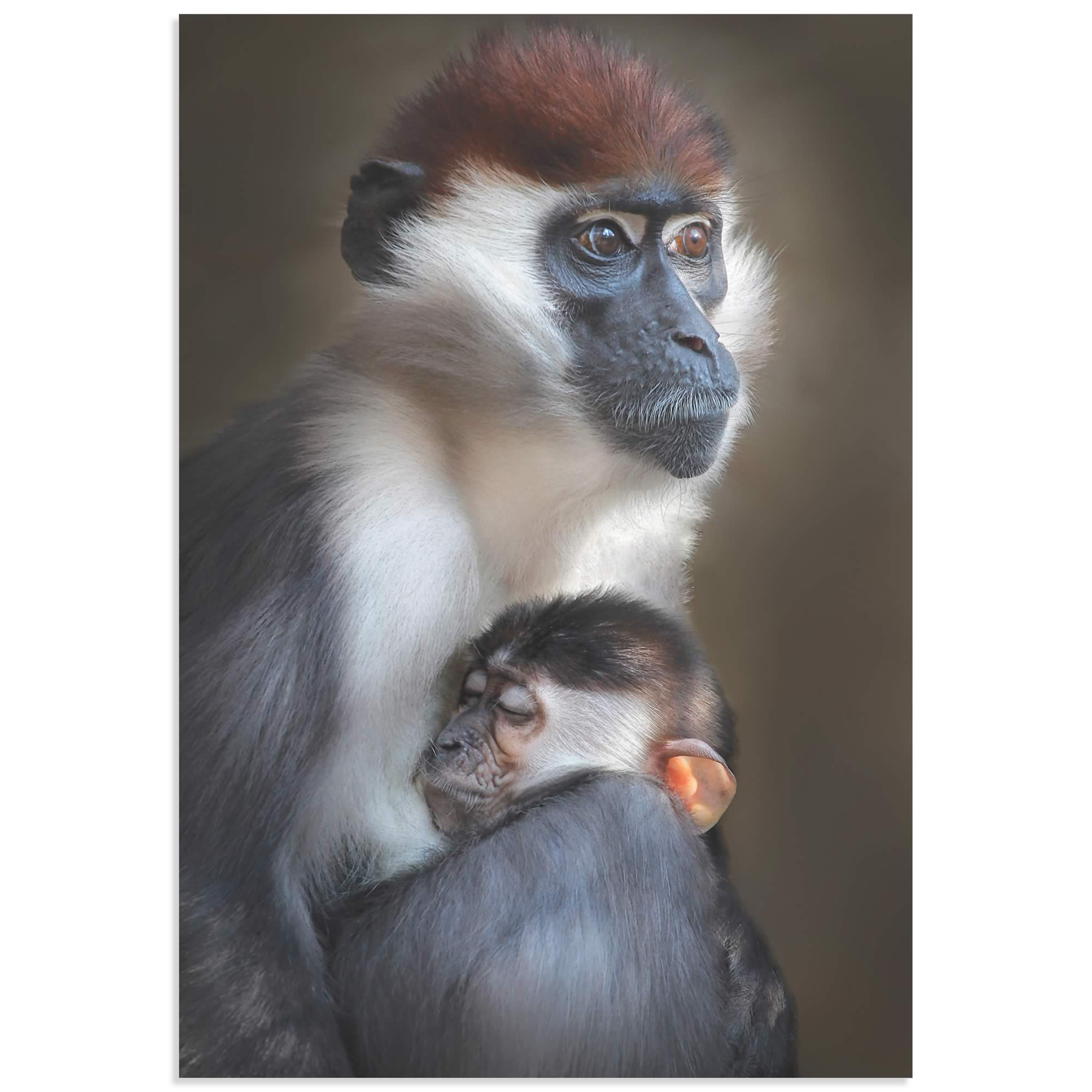 Tired Monkey by Carles Just - Monkey Wall Art on Metal or Acrylic