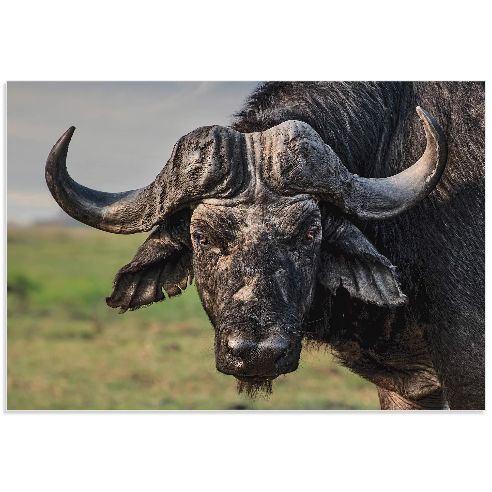 The Old Fighter Buffalo by Piet Flour - Buffalo Wall Art on Metal or Acrylic - Alternate View 2