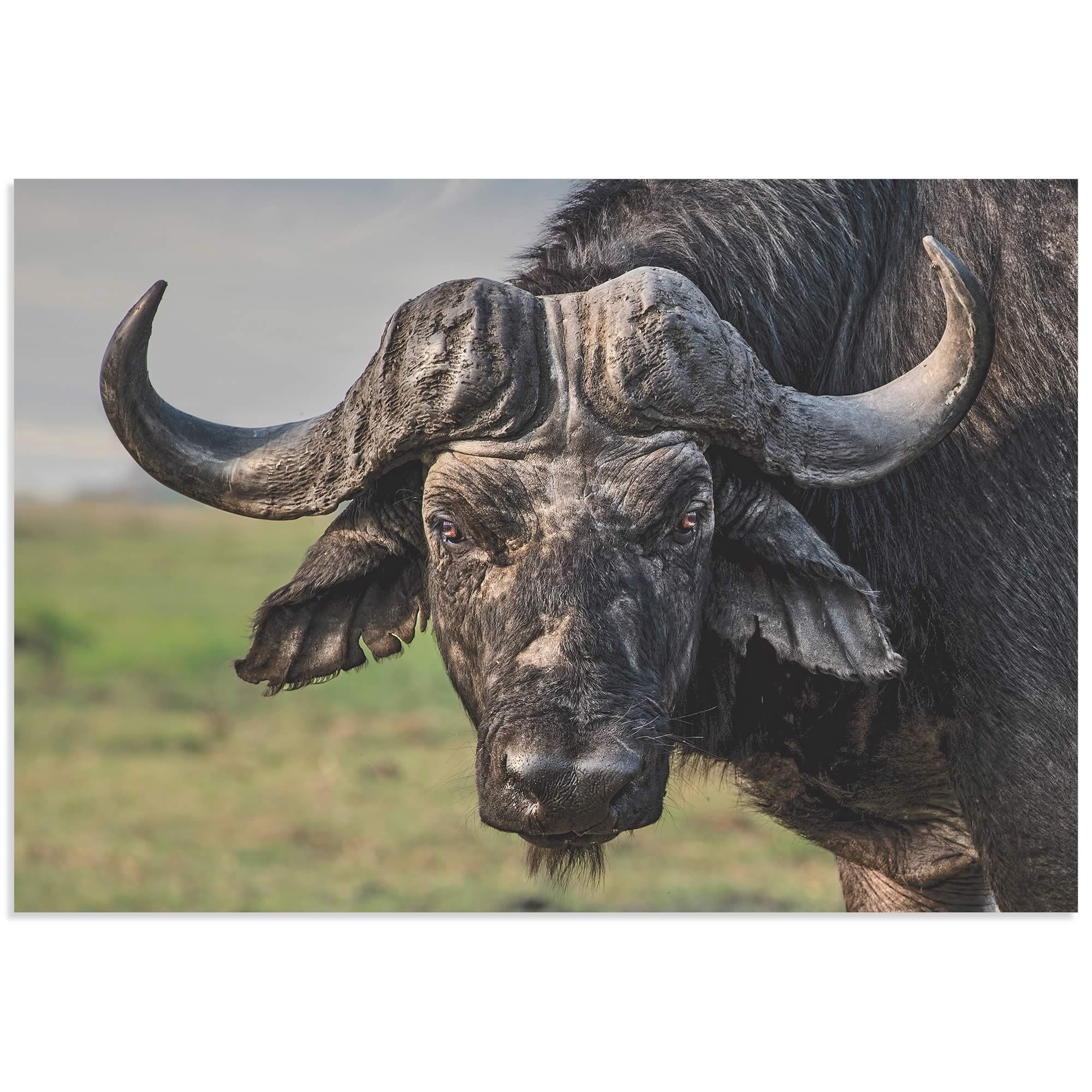 The Old Fighter Buffalo by Piet Flour - Buffalo Wall Art on Metal or Acrylic