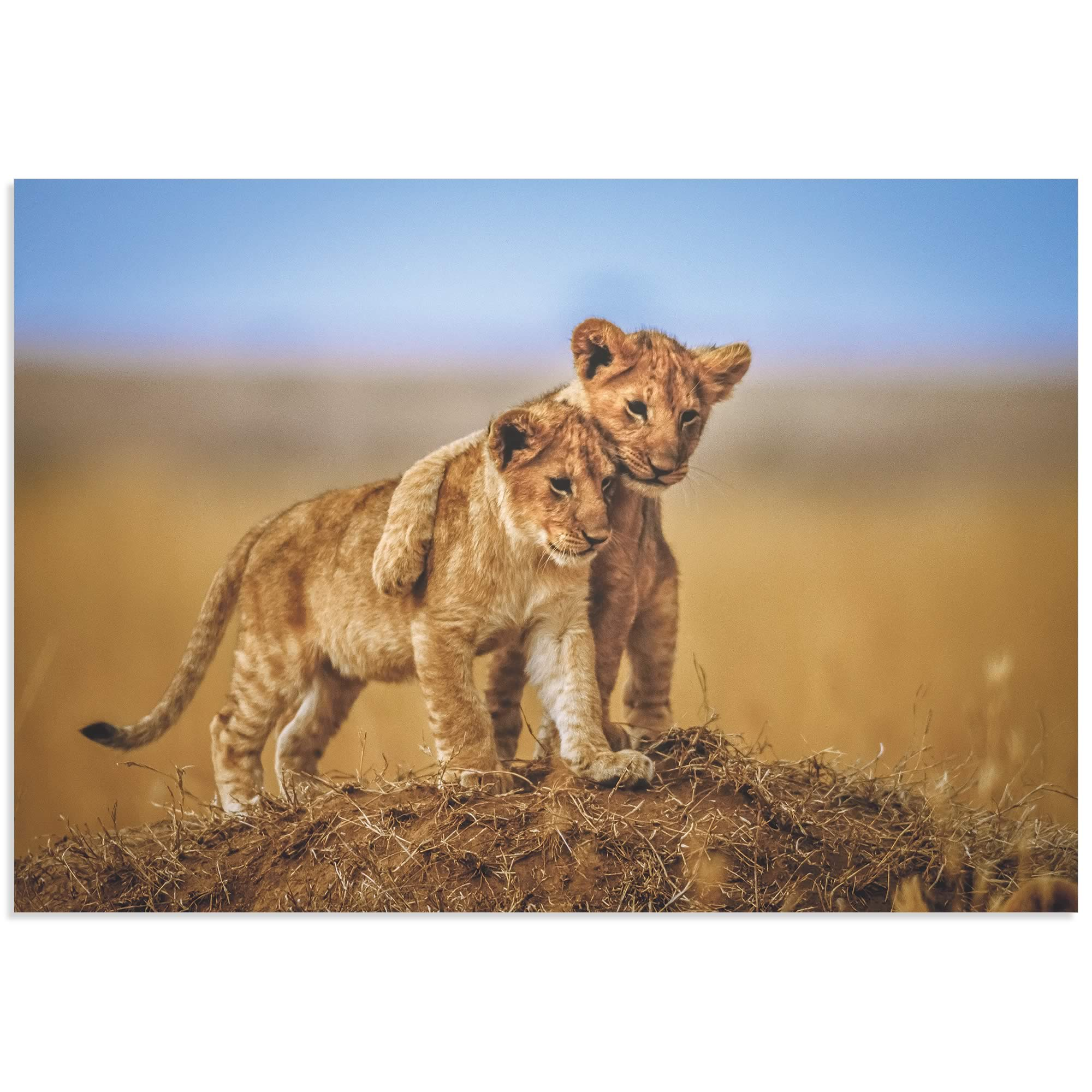 Lion Cub Brothers by Jeffrey C. Sink - Lion Cub Art on Metal or Acrylic