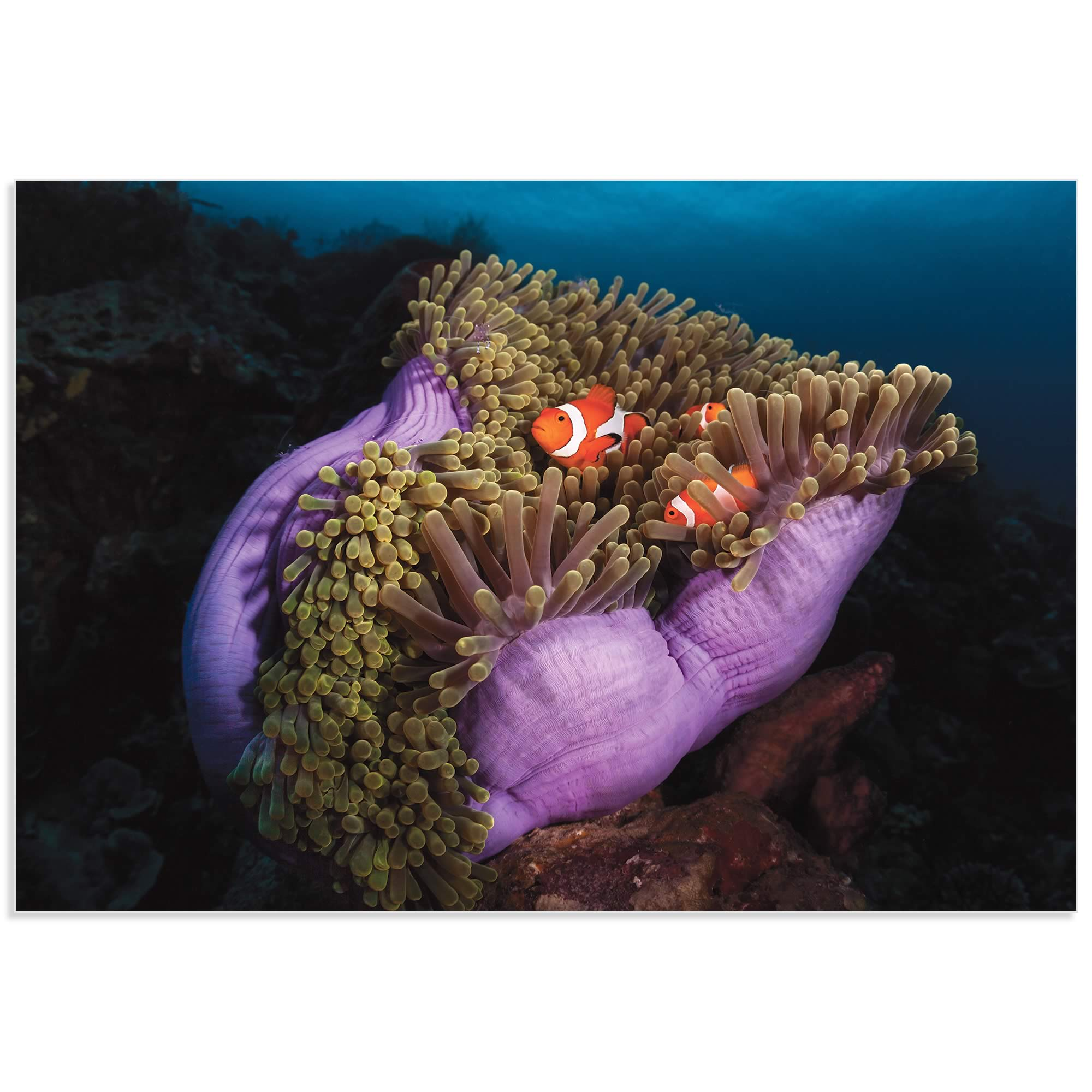 Clown Fish Anemone by Marco Fierli - Coastal Decor on Metal or Acrylic - Alternate View 2
