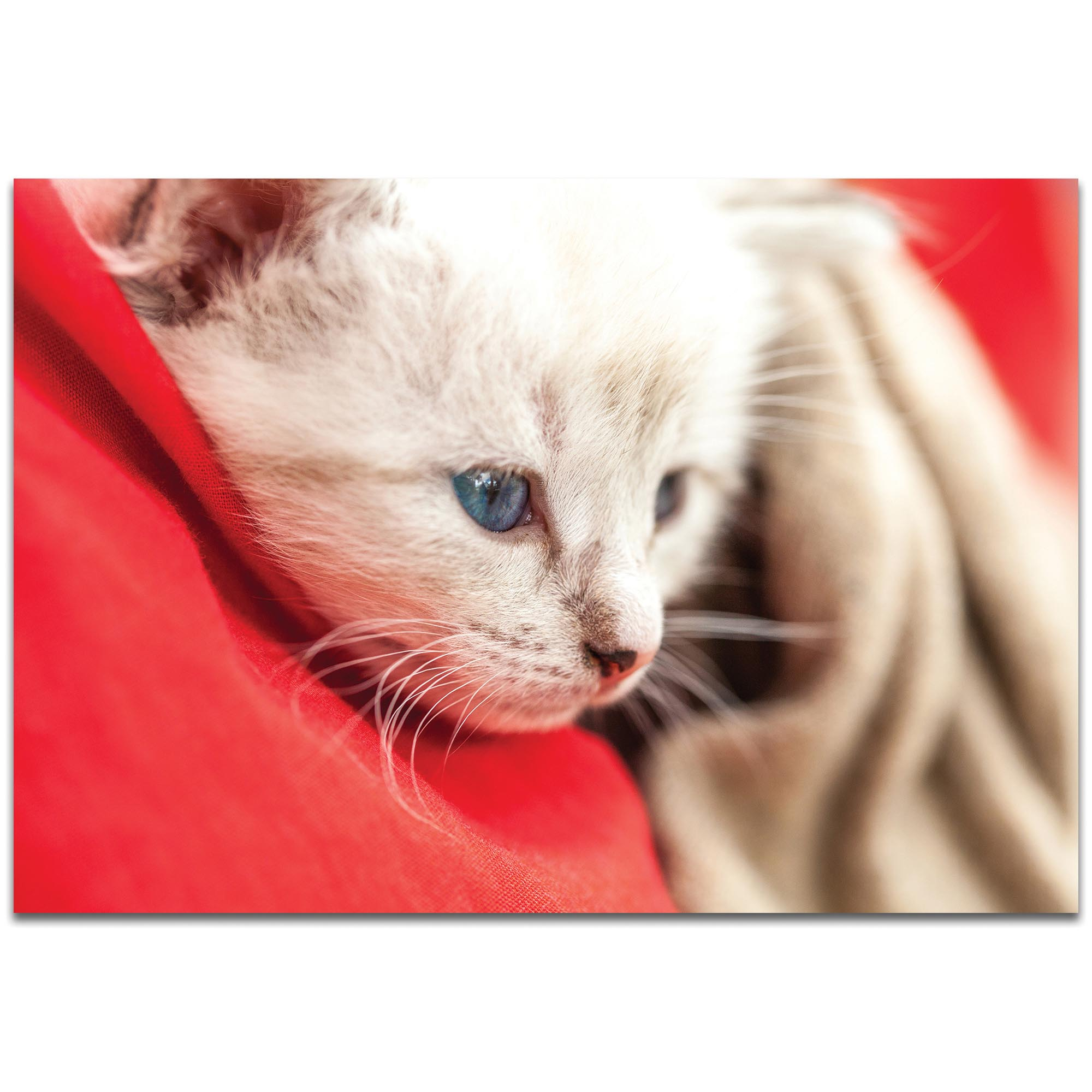 Casual Wall Art 'Bundled Kitten' - Wildlife Decor on Metal or Plexiglass
