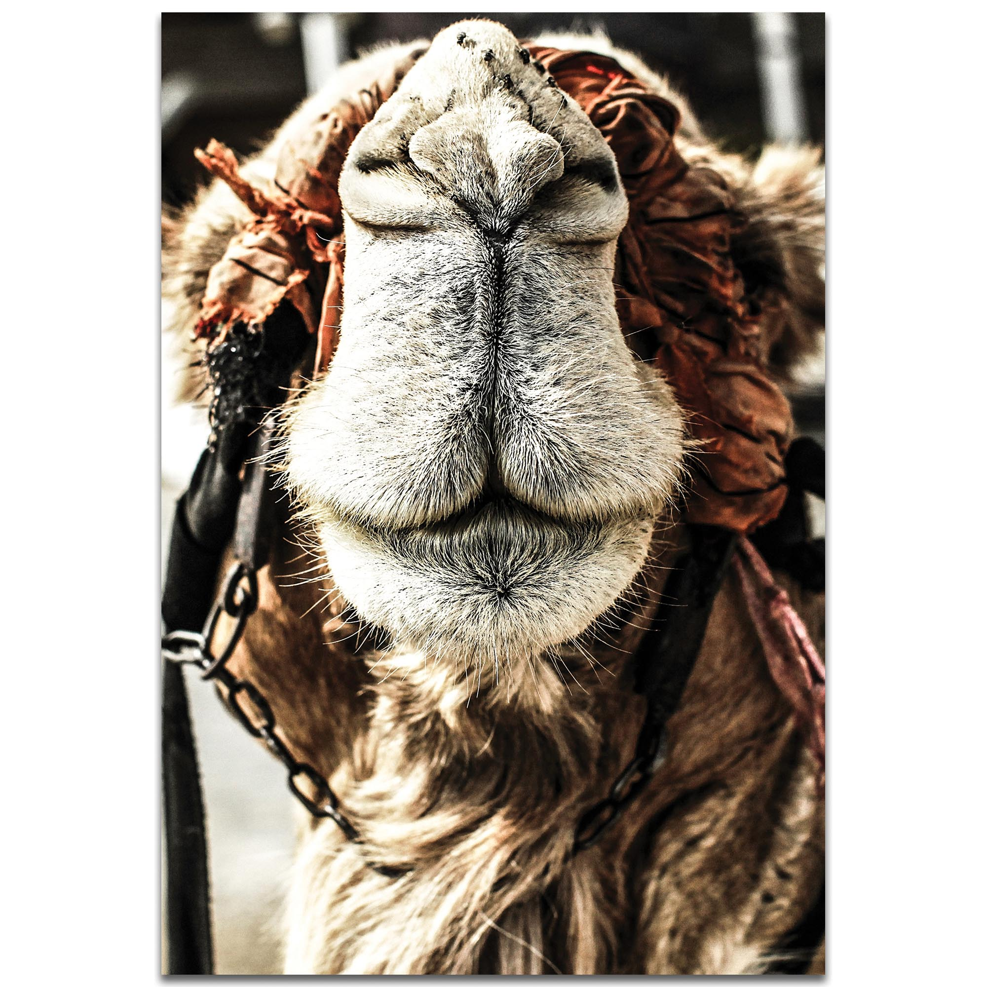 Casual Wall Art 'Camel Grin' - Wildlife Decor on Metal or Plexiglass