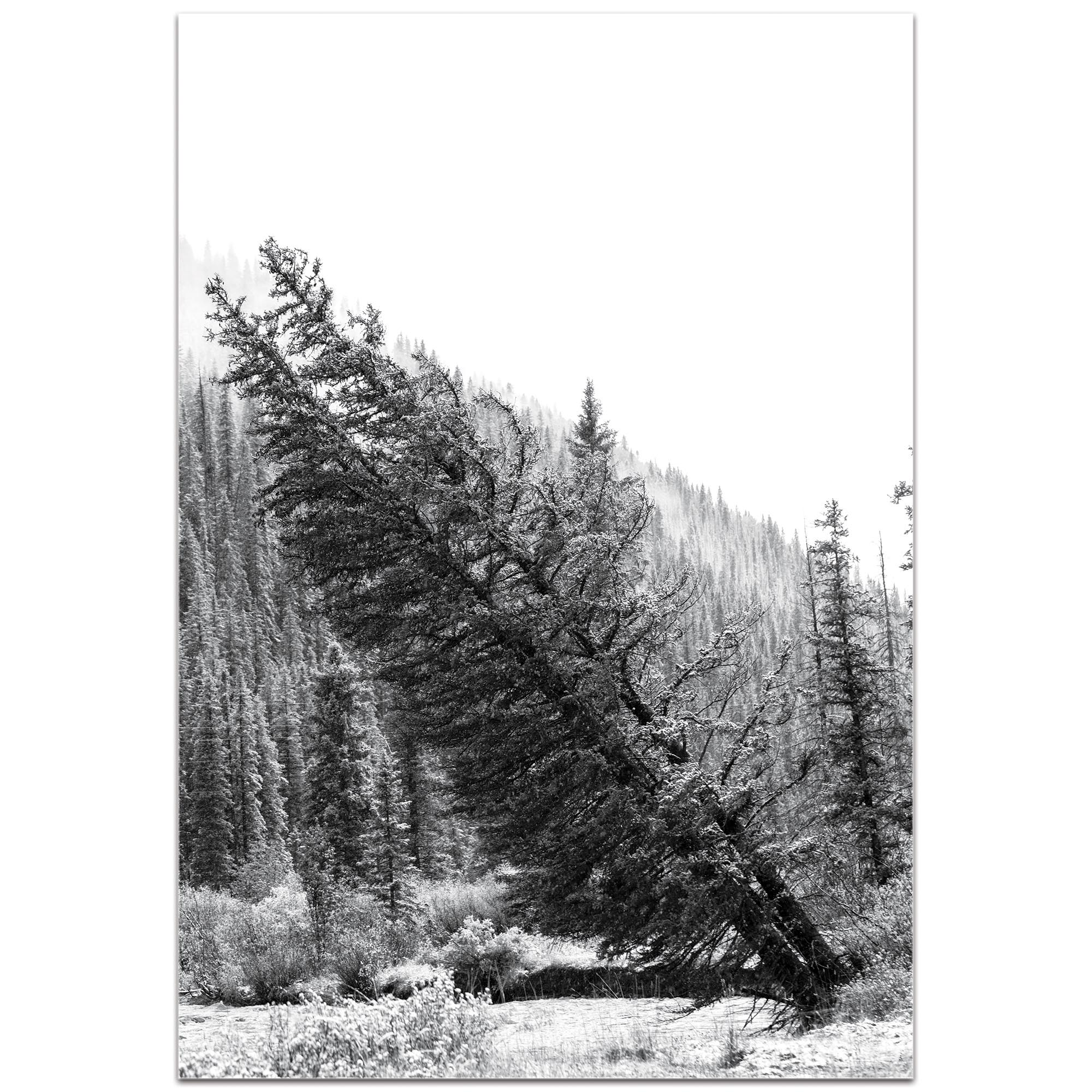 Black & White Photography 'Tilted Pines' - Winter Trees Art on Metal or Plexiglass - Image 2