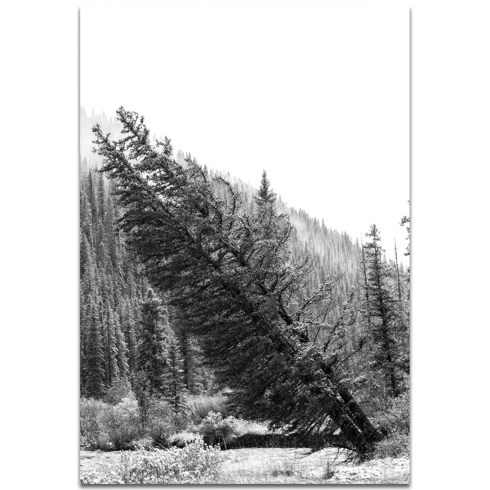 Black & White Photography 'Tilted Pines' - Winter Trees Art on Metal or Plexiglass