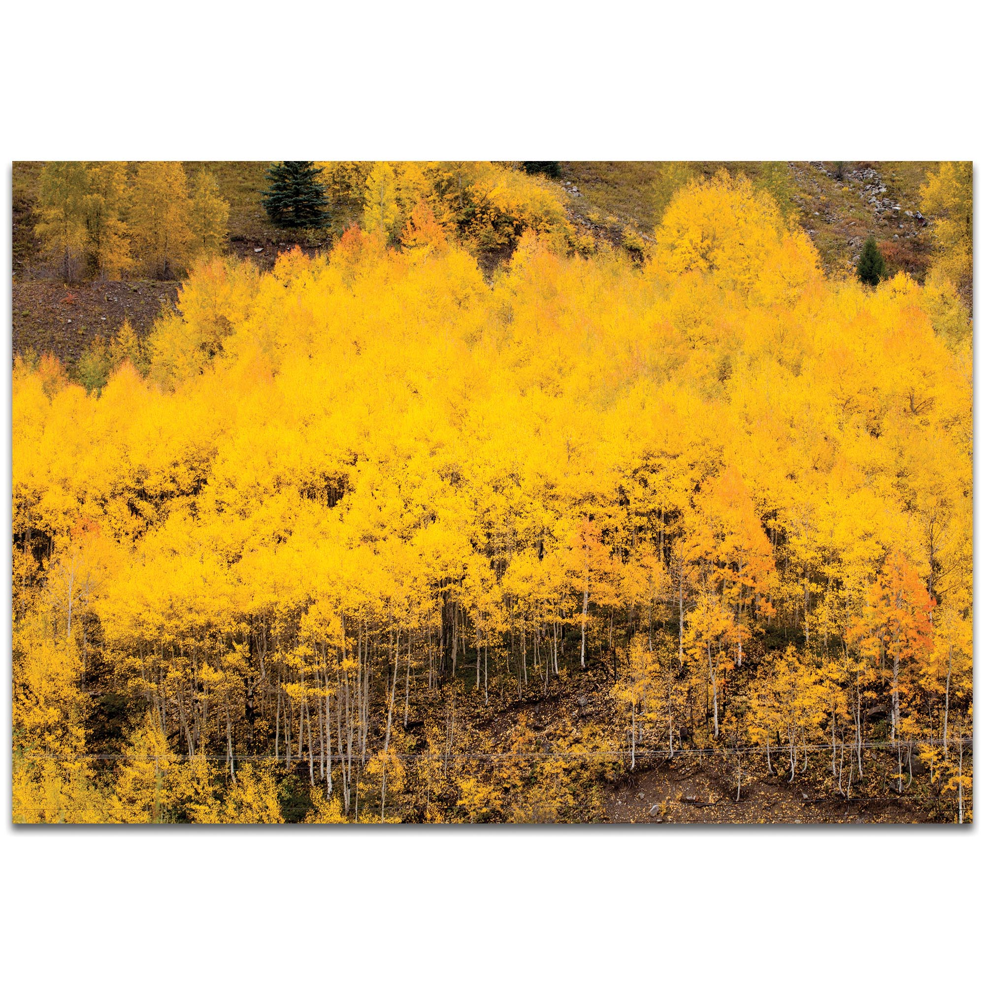 Landscape Photography 'Aspen Autumn' - Autumn Nature Art on Metal or Plexiglass