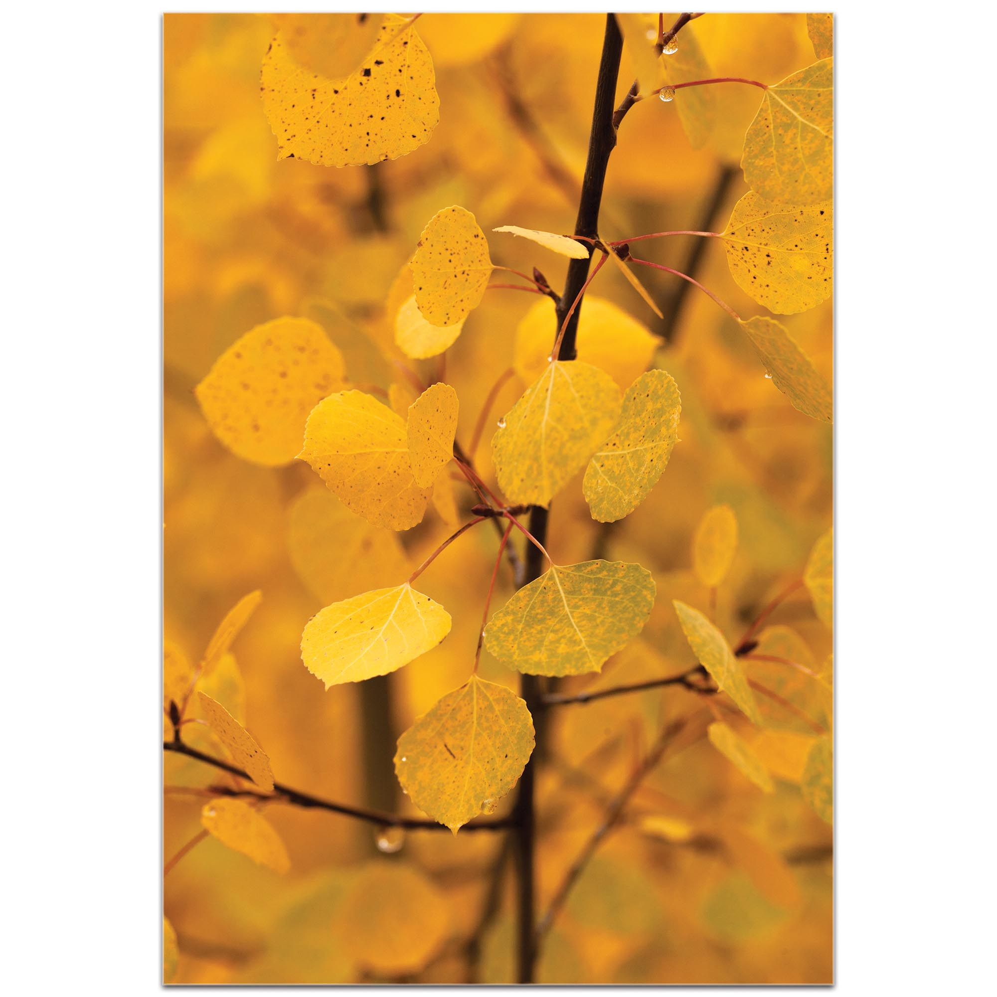 Nature Photography 'Turn to Gold' - Autumn Leaves Art on Metal or Plexiglass - Image 2