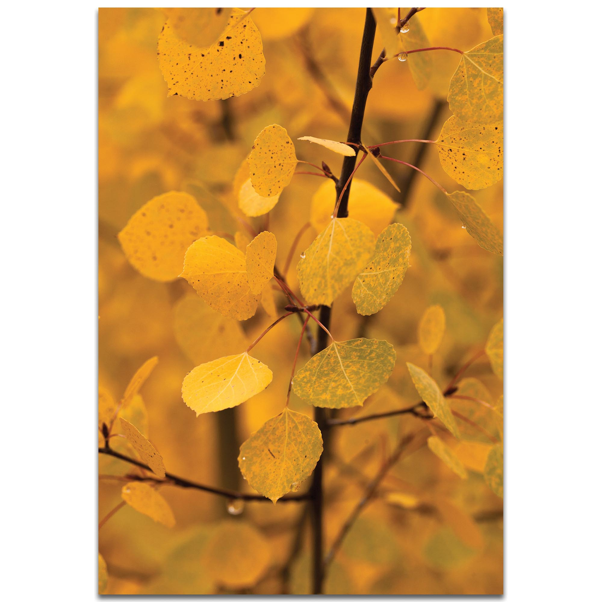 Nature Photography 'Turn to Gold' - Autumn Leaves Art on Metal or Plexiglass