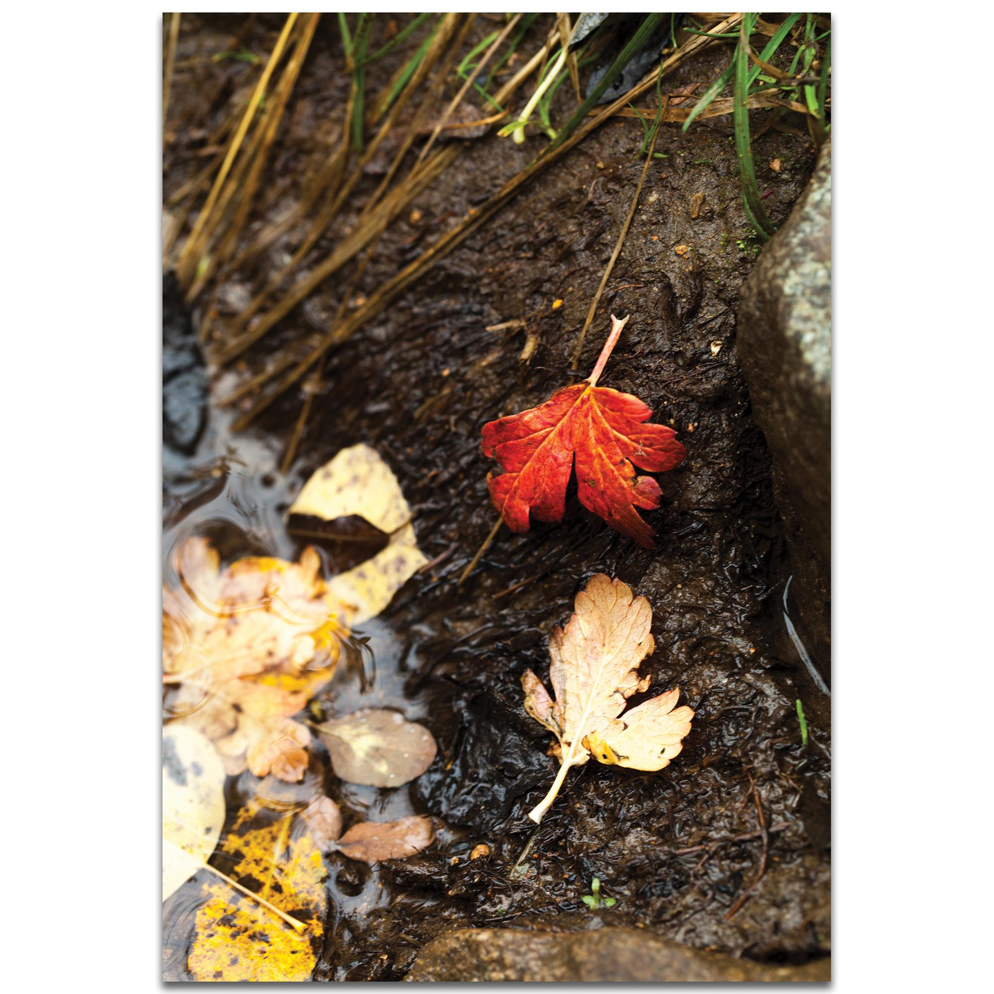 Nature Photography 'Red Leaf' - Autumn Leaves Art on Metal or Plexiglass