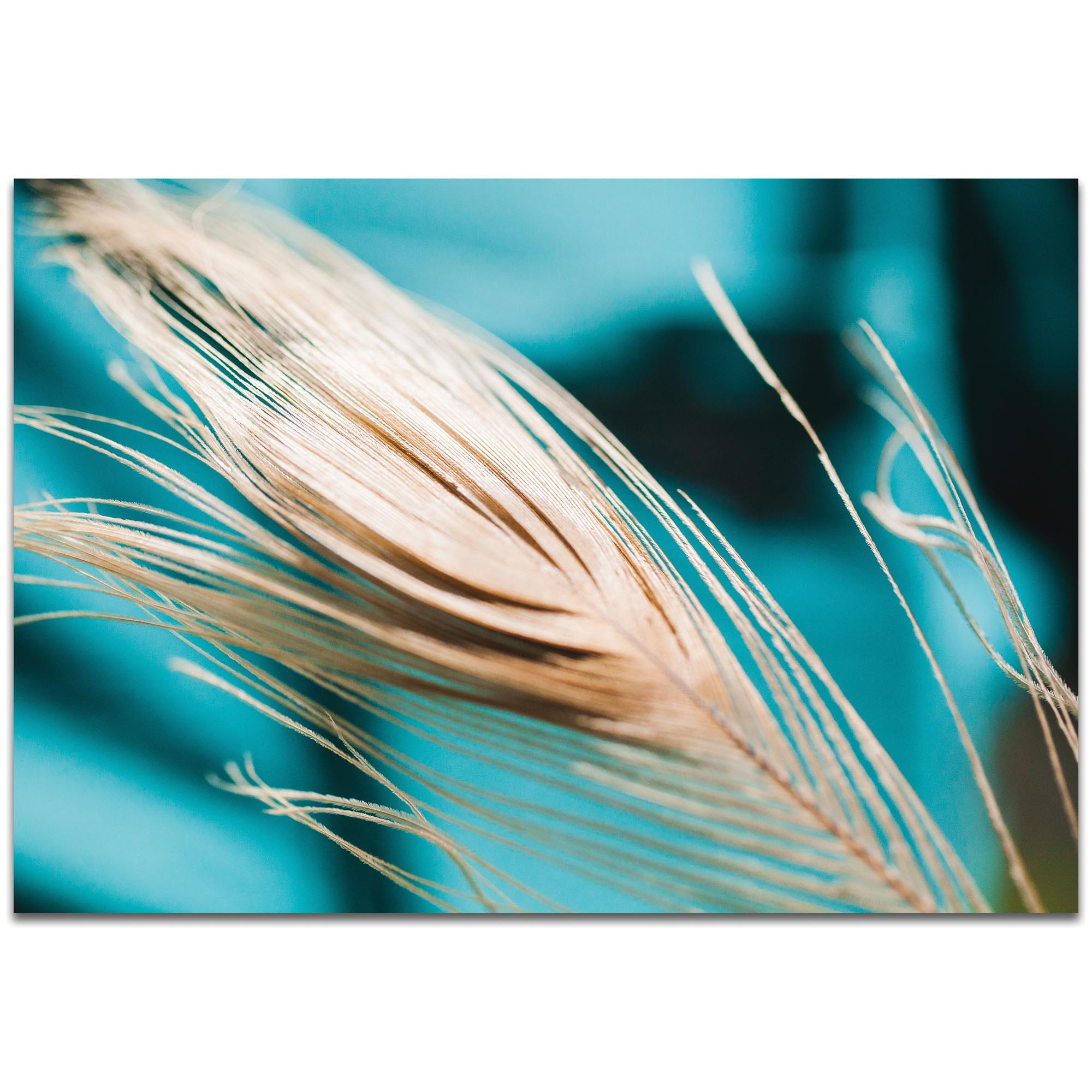 Nature Photography 'Turqoise Feather' - Bird Feathers Art on Metal or Plexiglass