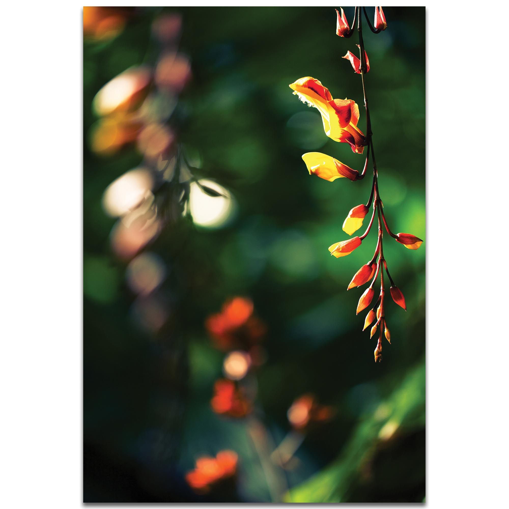 Nature Photography 'Hanging Flowers' - Flower Blossom Art on Metal or Plexiglass