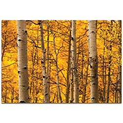 Landscape Photography Aspen Gold - Autumn Nature Art on Metal or Plexiglass