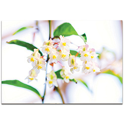 Nature Photography Popcorn in Bloom - Flower Blossom Art on Metal or Plexiglass