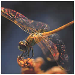 Golden Dragonfly by Thierry Dufour - Dragonfly Wall Art on Metal or Acrylic