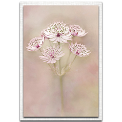 Alida van Zaane Astrantia 22in x 32in Modern Farmhouse Floral on Metal