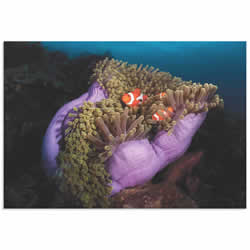 Clown Fish Anemone by Marco Fierli - Coastal Decor on Metal or Acrylic