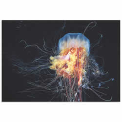Lions Mane Jellyfish by Alexander Semenov - Jellyfish Art on Metal or Acrylic