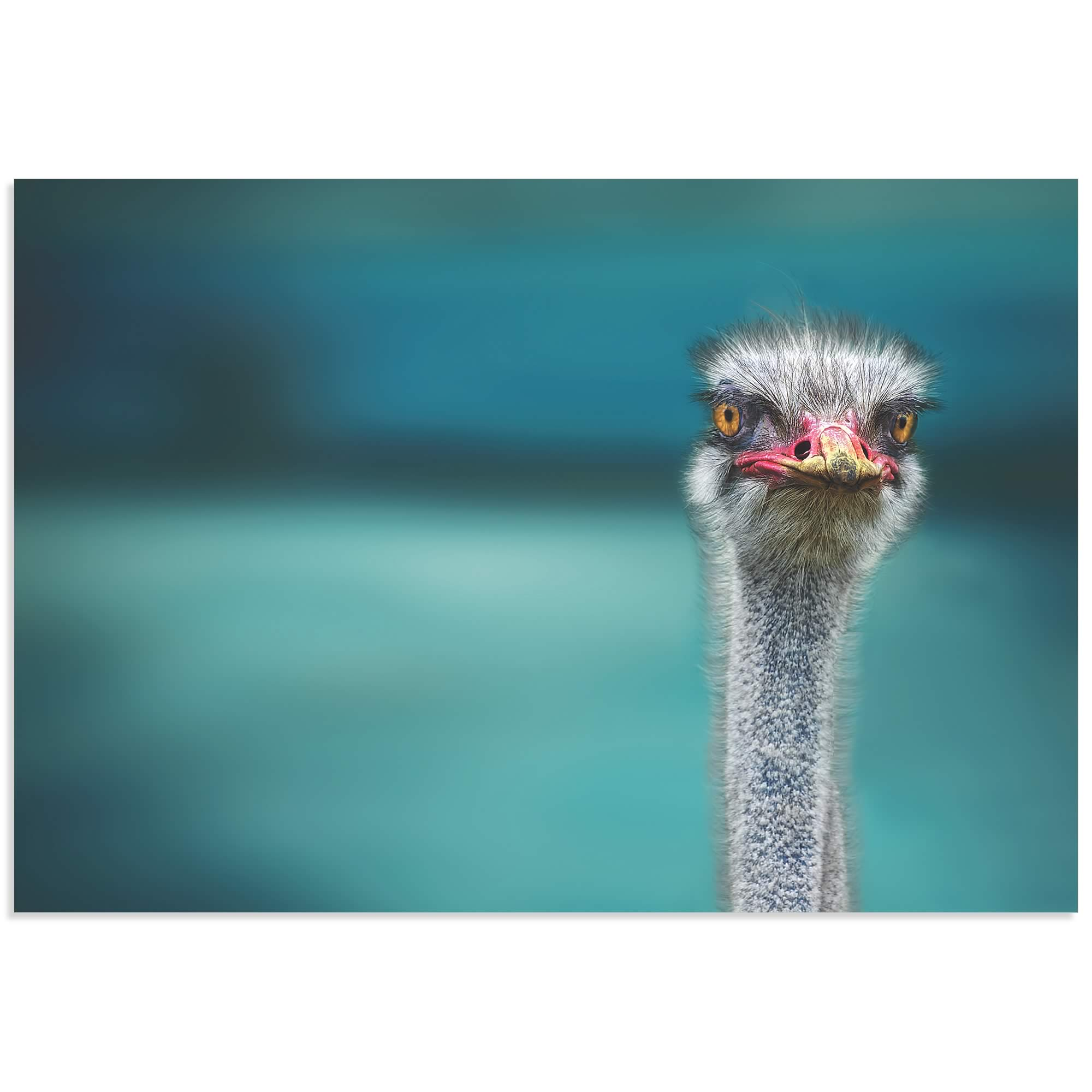 Ostrich by Piet Flour - Ostrich Wall Art on Metal or Acrylic