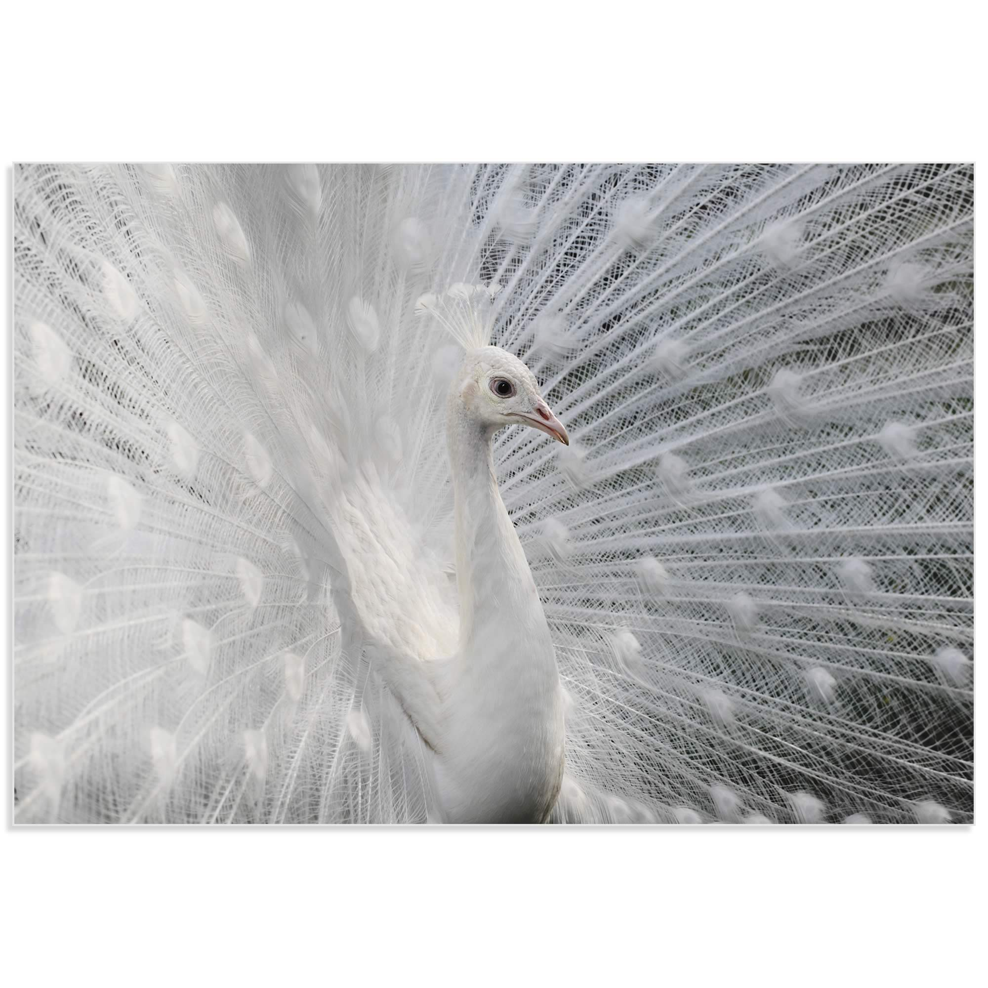 Snow White Peacock by Victoria Ivanova - White Peacock Art on Metal or Acrylic - Alternate View 2