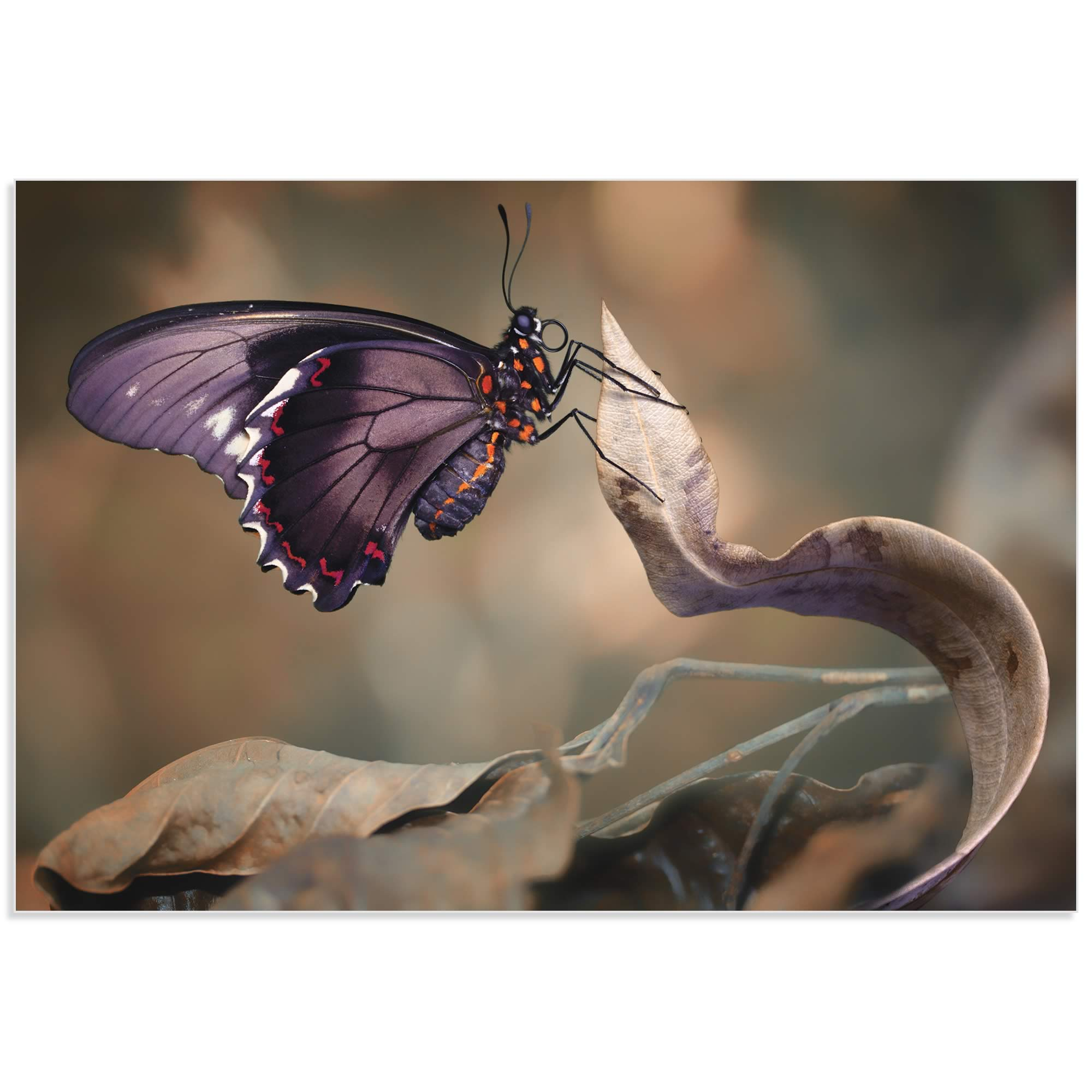 Swallowtail Butterfly by Jimmy Hoffman - Butterfly Wall Art on Metal or Acrylic - Alternate View 2