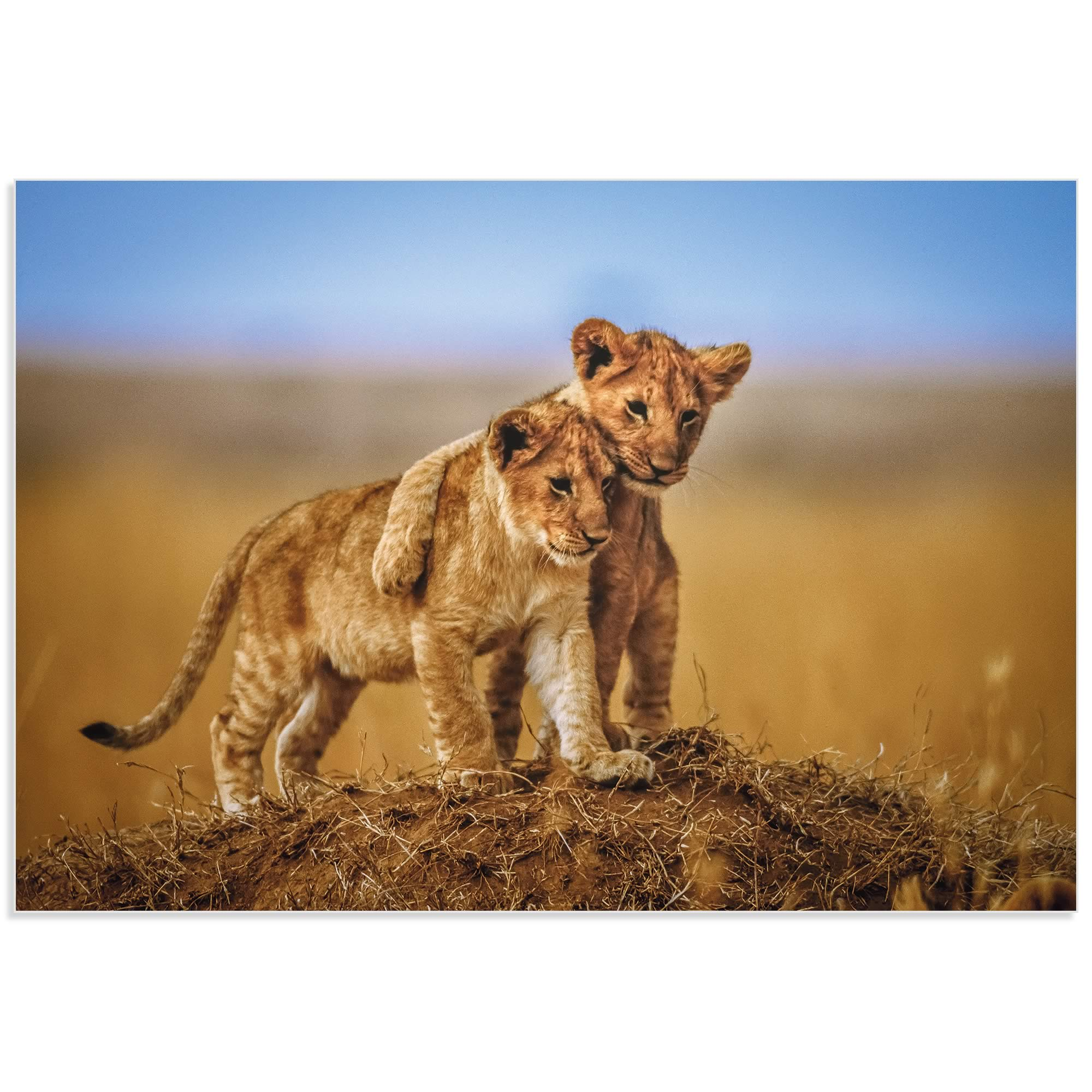 Lion Cub Brothers by Jeffrey C. Sink - Lion Cub Art on Metal or Acrylic - Alternate View 2